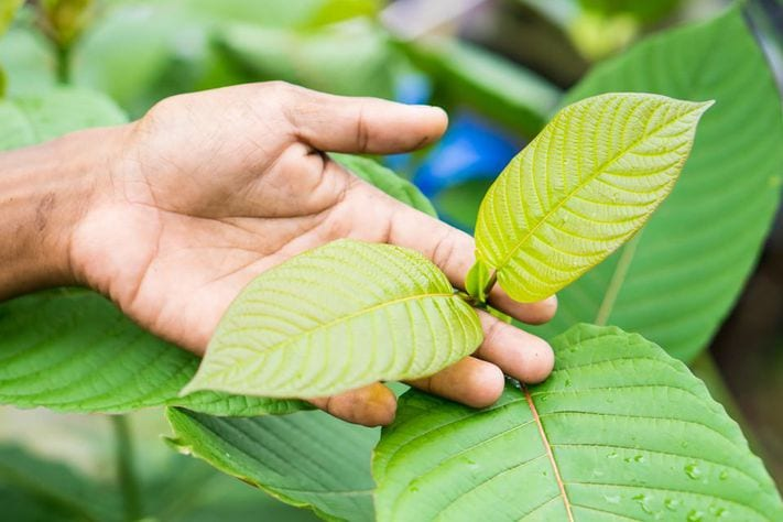 Kratom could help addicts if the DEA doesn't ban it. wholeearthgifts.com